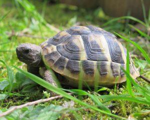 Tortoise in grass