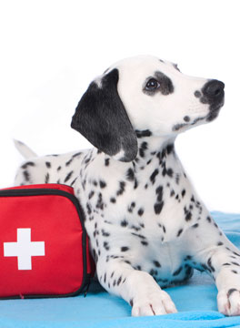 Dalmation puppy with first aid bag